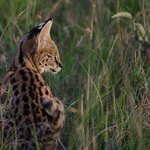 Serval cat baby