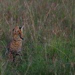 Serval cat cub