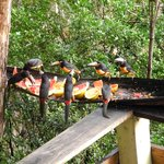 the Toucan family, from the dining room