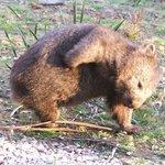 Local Wombat