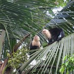 White Faced Capuchin Monkeys