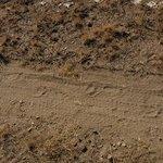 Fresh bear tracks!