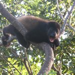 howler monkey just outside our cabana!