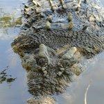 Coccodrillo maschio adulto