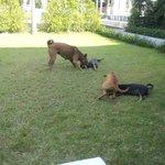 Løstgående hunde lejer på græsplænen ved villa 12