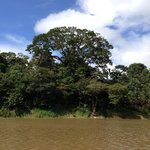 The gigantic Sumauma tree from a distance