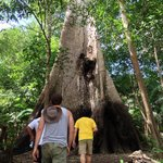 Approaching the gigantic Sumauma tree on one of the excursions