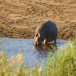 Hippo seen from the lodge
