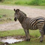 Zebra at lodge waterhole