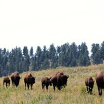Bison walking alongside the back roads