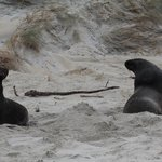 Hooker Sea Lions on Sandfly Beach