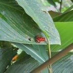 Het beroemde rode kikkertje