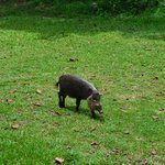 Wild boar not so wild