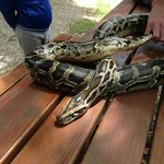 the python we got to hold