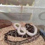 albino snake :)