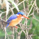 Malachite Kingfisher on the river