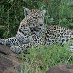 Seeing a leopard is a very special experience!