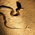 Hooded Mozambique Spitting Cobra (unbelievable!)