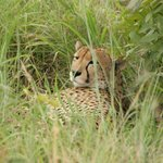 Cheetah resting - an exceptionally beautiful animal!