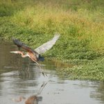 Goliath Heron in flight (world's largest bird)