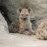 Hyena cub in its den