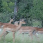 Impala abound (like sushi for lions!)