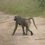 Baboon up close