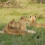 Lovely lionesses