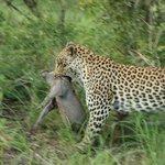 We saw a leopard kill a juvenile warthog!