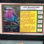 Information on the Lilac Breasted Roller