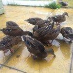 dunster Chalet ducks
