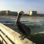 View of the hotel from the Cocoa Beach pier and one of many pelicans lining the pier railing.