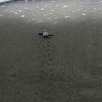 BAby sea turtles sees the ocean for the first time!