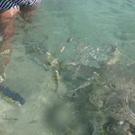 Variety of fish in shallow watter at Sirenis Mayan Beach