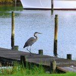 Blue Heron on the Dock