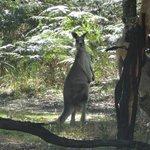 kangeroe op tereein voor de villa