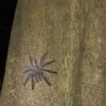 giant tarantula on the camping night