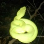 another emeral tree boa at night