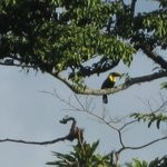 Toucans hanging out in the trees