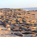 Hundreds of elephant seals