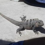 our iguana friend :-)