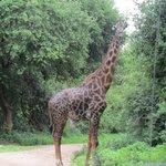Meet giraf