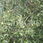 Fruitful pear tree