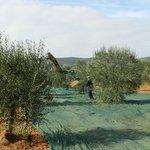 il nostro oliveto