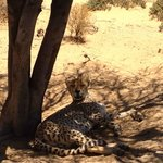Lazy Cheetahs!
