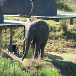 Elephant bull in front of one of the Kwena Huts