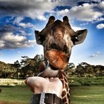 The incomparable wonder of feeding a giraffe