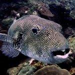 Large starred/spotted pufferfish  - photo by yellowshirts
