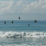 Brown Pelicans and the gorgeous Pacific