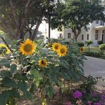 Sunflowers outside the building